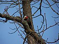 Pileated Woodpecker (198 8932).jpg