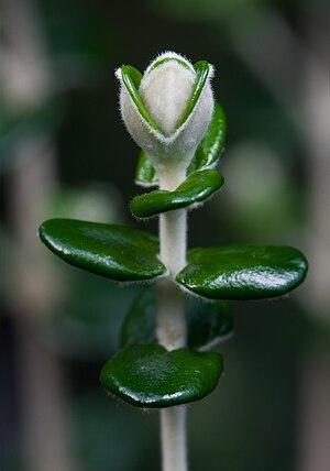 Pimelea - Flower bud of Pimelea nivea