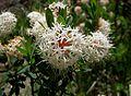 Pimelea ligustrina subsp. ciliata.jpg