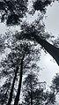 Pine forrest.jpg