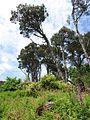 Pines, Coleton Fishacre - geograph.org.uk - 817381.jpg
