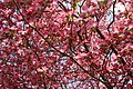 Pink-dogwood-sky-tree - West Virginia - ForestWander.jpg