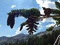 Pinus balfouriana austrina 3.jpg