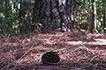 Pinus elliottii ufscar 02.jpg