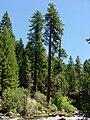 Pinus lambertiana ProspectOR.jpg