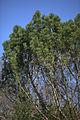 Pinus mugo 01.jpg