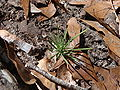 Pinus palustris seedling 1.jpg