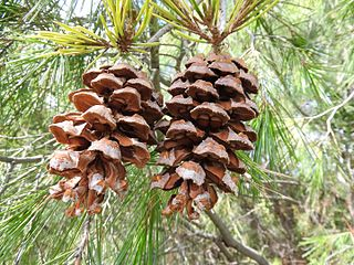 <i>Pinus pinceana</i> species of plant