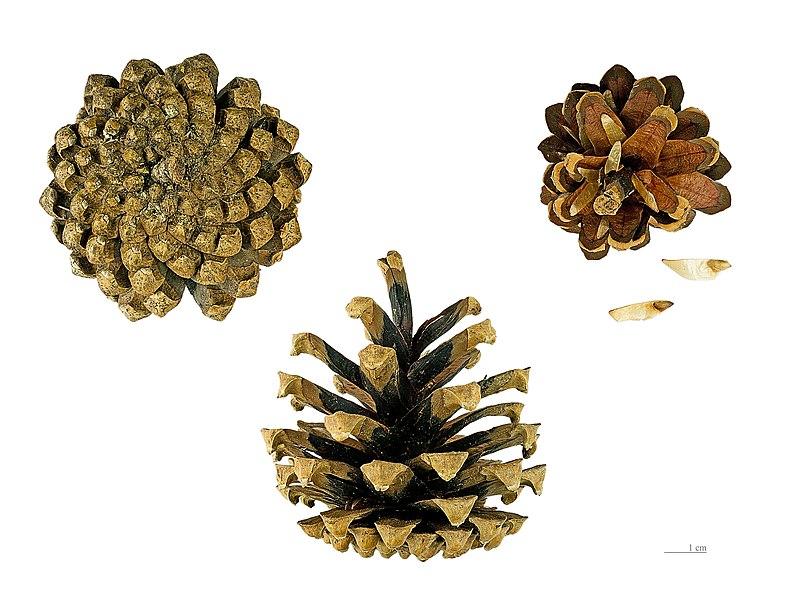 Šišky a semená borovice - nahosemenná rastlina - semená sú len položené na šupinách šišky, nie sú ukryté v plode