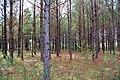 Pinus taeda in Marengo Alabama USA.JPG