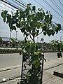 Pipal Tree1.jpg