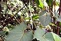 Piper auritum 27zz.jpg
