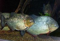 Piranha1.jpg