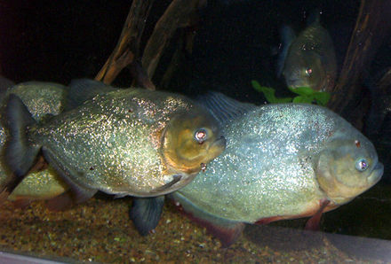 Characins, such as the piranha species, are prey for the giant otter, but these aggressive fish may also pose a danger to humans. Piranha1.jpg