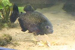 Piranha (Beauval).jpg