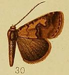 Pl.37-fig.30-Baniana culminifera Hampson 1910.JPG