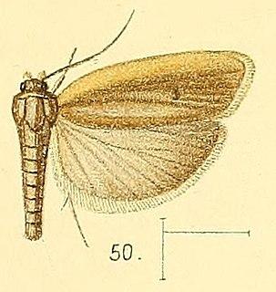 <i>Stenoma</i> Genus of moths