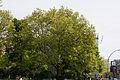 Plane tree 4-14B (20150511-DSC05065).JPG