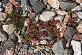 Plant in Lonsoraefi area, Iceland.jpg