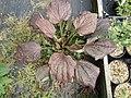 Plantago major purpurea - Flickr - peganum.jpg