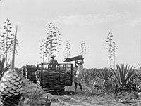 Plantations in Kenya Colony. Loading sisal on narrow gauge R.R. (i.e., railroad) car LOC matpc.17623.jpg