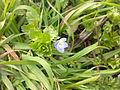 Plante à fleur bleue inconnue à Grez-Doiceau 001.jpg