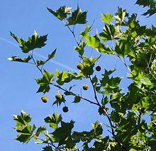 Листья и плоды платана.