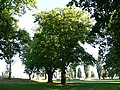 Platany Hlohovec - Plane-trees Hlohovec, Slovakia - panoramio (2).jpg
