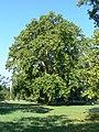 Platany Hlohovec - Plane-trees Hlohovec, Slovakia - panoramio (4).jpg