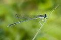 Platycnemis pennipes 1(loz).JPG
