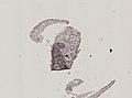 Pleioplana atomata (YPM IZ 073814) 46.jpeg