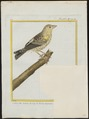 Ploceus capensis - 1700-1880 - Print - Iconographia Zoologica - Special Collections University of Amsterdam - UBA01 IZ15900077.tif