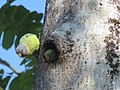 Plum-headed parakeet female feeding IMG 1053.jpg