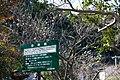 Plum tree in mansion of Komatsu wearing a sword - panoramio.jpg