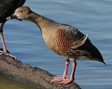Plumed Whistling-Duck.jpg