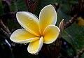 Plumeria (Frangipani) (17062929521).jpg
