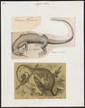 Podinema teguixin - 1700-1880 - Print - Iconographia Zoologica - Special Collections University of Amsterdam - UBA01 IZ12500017.tif