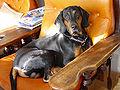 PolishScenhound-ChPl-MlChPl-AMBER-zDolinyBystrej-wl.DominikaBom-Gawronska.jpg