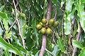 Polyalthia longifolia fruits - at Beechanahalli 2014.jpg