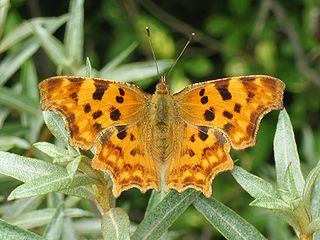 <i>Polygonia</i> genus of insects