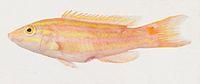 Polylepion russelli.jpg