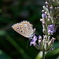 Polyommatus icarus-20150717.jpg