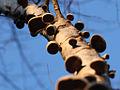 Polypores on tree.jpg