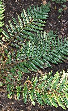 Polystichum proliferum Barrington Tops.jpg