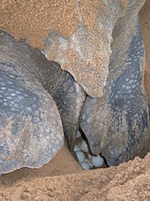 Leatherback sea turtle wikipedia a leatherback turtle with eggs photo taken on montjoly beach french guiana publicscrutiny Gallery