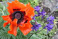 Poppy and aquilegia, Downpatrick, May 2011.JPG