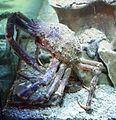 Porec aquarium IMG 8419 Macrocheira kaempferi.jpg