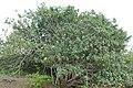 Portia Tree (Thespesia populnea) on the shores of Lake St Lucia ... (31682411067).jpg