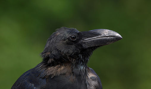 Jungle crow (Close-up of the head area)
