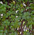 Portulacaria afra in Jardin des Plantes de Toulouse 03.jpg